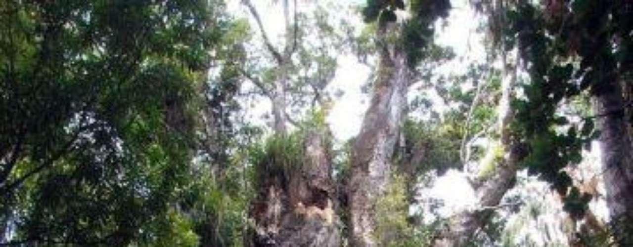 Te Matua Ngahere: Este árbol es un kauri, especie endémica de nueva Zelanda, y ha vivido cerca de 2000 años. Se encuentra cerca de Northland, en ese país. Su nombre está en Maorí y significa el Padre del bosque.