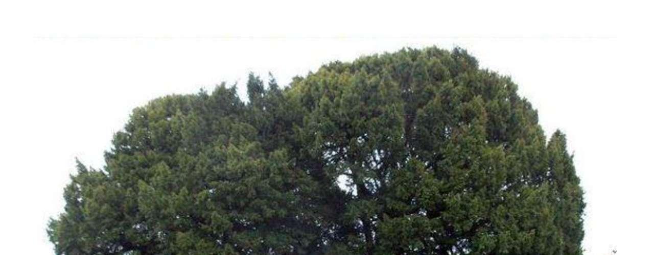 Llangernyw: Este árbol galés se puede encontrar en un cementerio en las cercanías de Abergele y Llanrwst. Tiene más de 3000 años.
