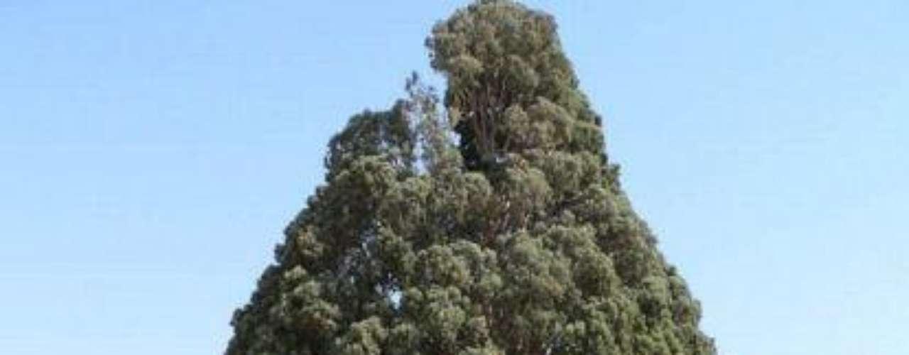 Sarv-e-Abarkooh: Este árbol tiene 4 mil años de antigüedad. Lo ves en las cercanías de Abarghood en Irán.