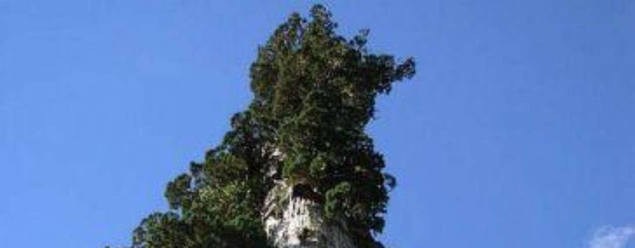 El Tata Alerce: Se considera el más antiguo de su especie –nativa de los Andes de Chile y Argentina. Ha estado cerca a Puerto Montt desde hace 3800 años.