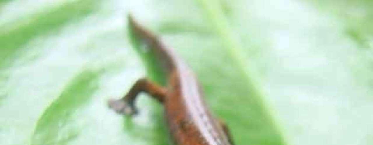 Las especies incluyen algunos de los descubrimientos biológicos más sorprendentes, únicos y en muchos casos de especies amenazadas. Este es el caso de esta salamandra descubierta en Ecuador. Tienen las patas palmeadas, que les ayudan a subir muy alto en árboles de los bosques tropicales, no tienen pulmones y respiran a través de su piel.