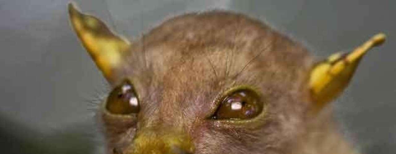 Esta es una especie endémica de Papua Nueva Guinea y fue observada por primera vez en 2009. Aún no tiene nombre pero se le ha puesto el apodo de Yoda, como el personaje de la Guerra de la Galaxias. El murciélago se alimenta a base de frutas y son importantes dispersores de semillas en los bosques tropicales.