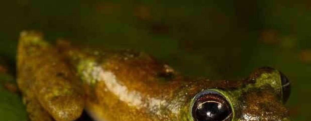 Conocida como 'rana Pinocho' fue descubierta en 2008 en Indonesia. La rana tiene una protuberancia larga en su nariz que apunta hacia arriba cuando el macho llama, pero se desinfla y apunta hacia abajo cuando está menos activa.