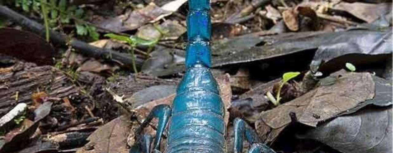 Este es el escorpión Emperador que llega a medir hasta unos 20 cm. Fue descubierto por Ghana por un equipo de científicos de Conservación Internacional en 2006. Su veneno, que no es letal para humanos, está siendo probado como posible fármaco para controlar arritmias.