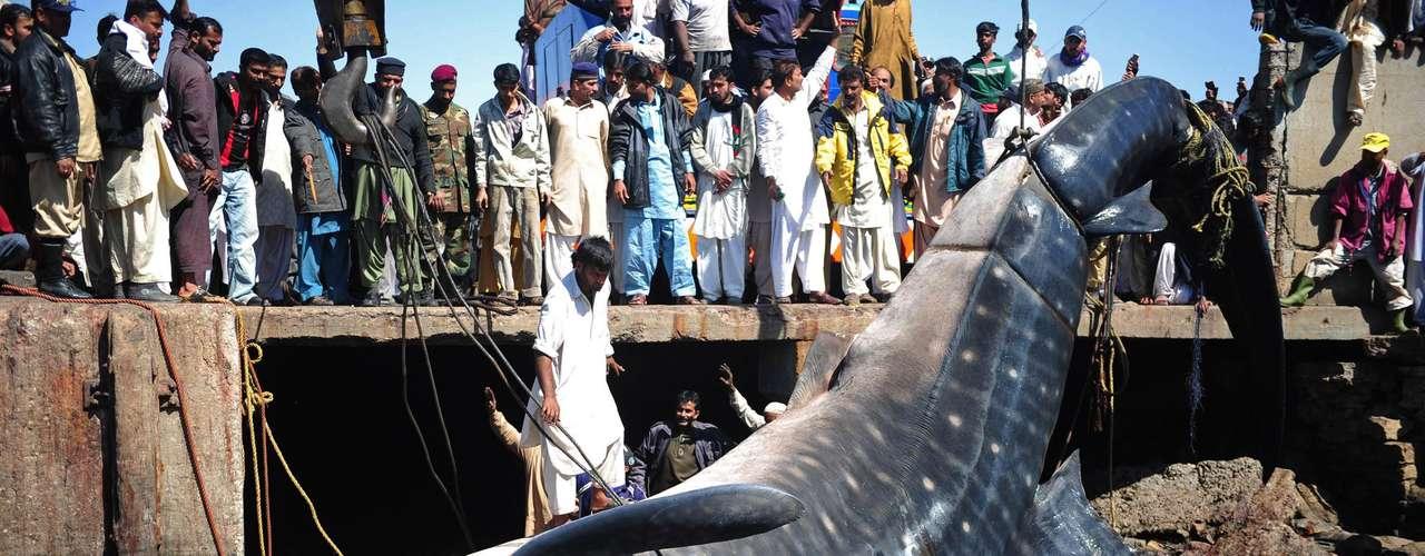 En el muelle de Karachi, Pakistán, dos grúas  intentan retirar el cuerpo sin vida de un tiburón, el cual medía más de 12 metros.