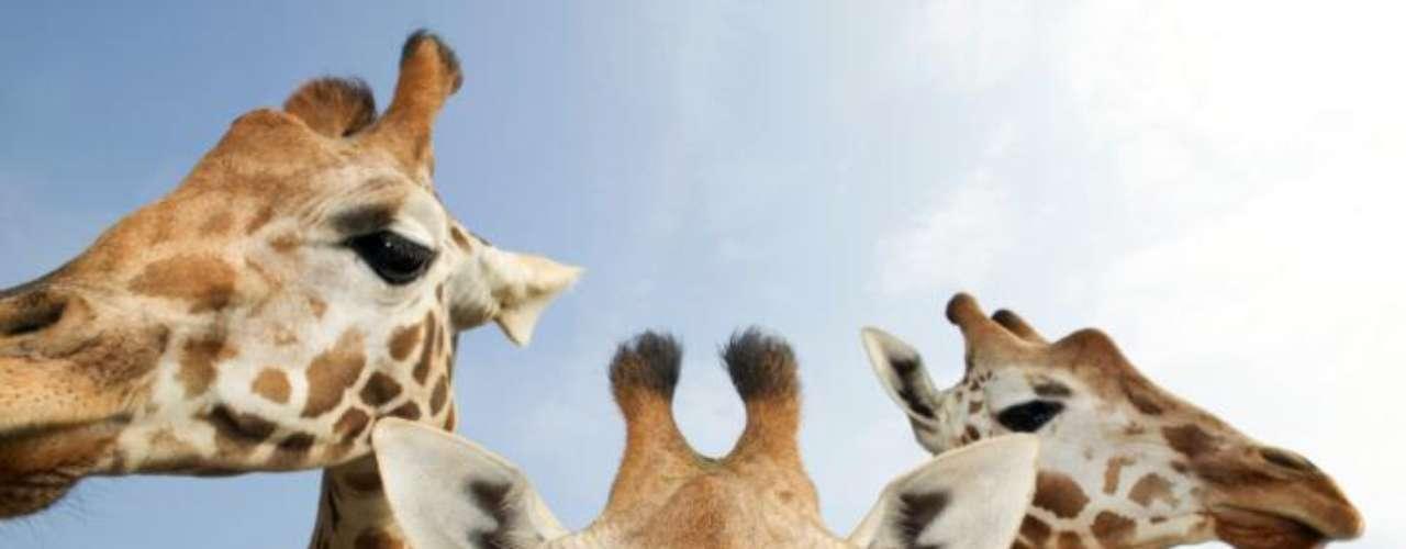 Las mascotas exóticas parece ser un gusto que comparten varios capos narco. Escobar tenía rinocerontes y jirafas (en realidad, un zoológico completo). A Beltrán Leiva lo atraparon con tigres siberianos, panteras, leones y un simio.