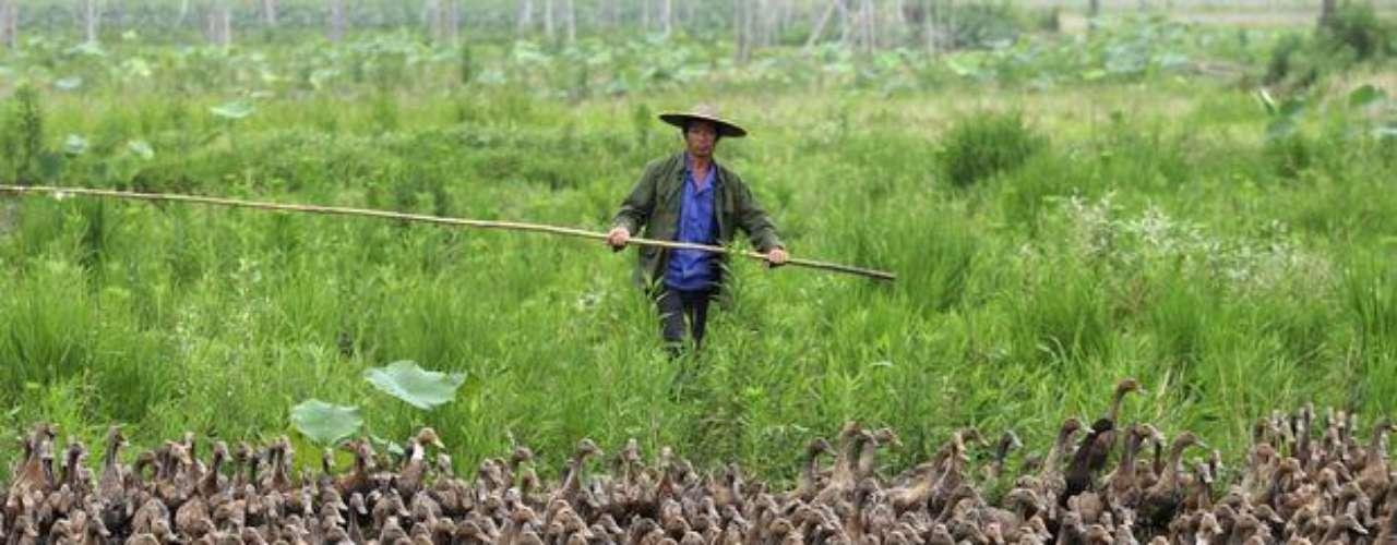 Los automovilistas se tuvieron que detener para que alrededor de 5 mil aves pudieran circular hacia un lago de la localidad.