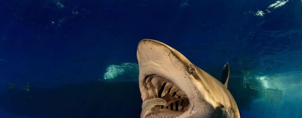 Skerry ha fotografiado grandes depredadores como el tiburón blanco que puede verse en esta foto. Los ejemplares de esta especie pueden medir más de 4 metros.