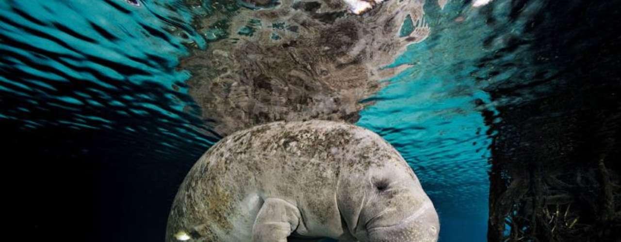 El fotógrafo estadounidense llega a pasar tres días en un mismo emplazamiento, explorando y fotografiando diversas especies marinas. En la foto se ve un manatí de Florida. Los peces se agrupan para comer las algas que tiene pegadas al cuerpo.