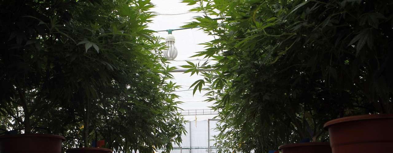 Una moderna plantación de cannabis medicianl fue mostrada hoy en la ciudad de Safed, al norte de Israel. Los investigadores señalan que en este recinto, ubicado en la cima de las colinas de la Galilea, se ha  desarrollado marihuana para aliviar algunos de los síntomas de  dolencias de pacientes sin drogarse.