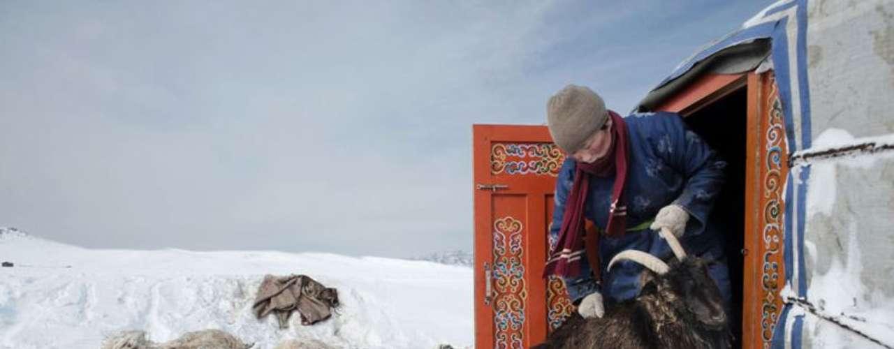 Erdene Tuya, 29 años, saca fuera de su tienda un carnero que trata de entrar a su vivienda en busca de calor. Al fondo, algunas ovejas muertas. Los inviernos, cada vez más duros con temperaturas de hasta 50º bajo cero, han reducido drásticamente los pastos y han obligado a miles de pastores a emigrar a la capital, Ulan Bator, modificando de forma radical sus formas de vida tradicionales.