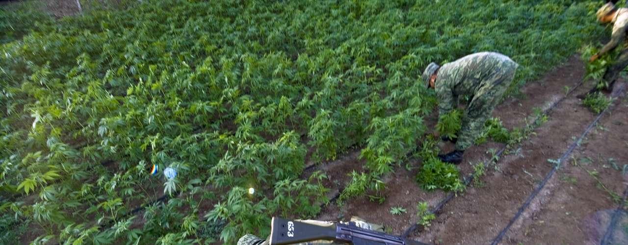 El área del Triángulo Dorado es famosa por ser el territorio donde más se producen enervantes pues se produce alrededor de 80% de la marihuana y amapola del país. Pero, el poder del narco fue más allá de esa zona.