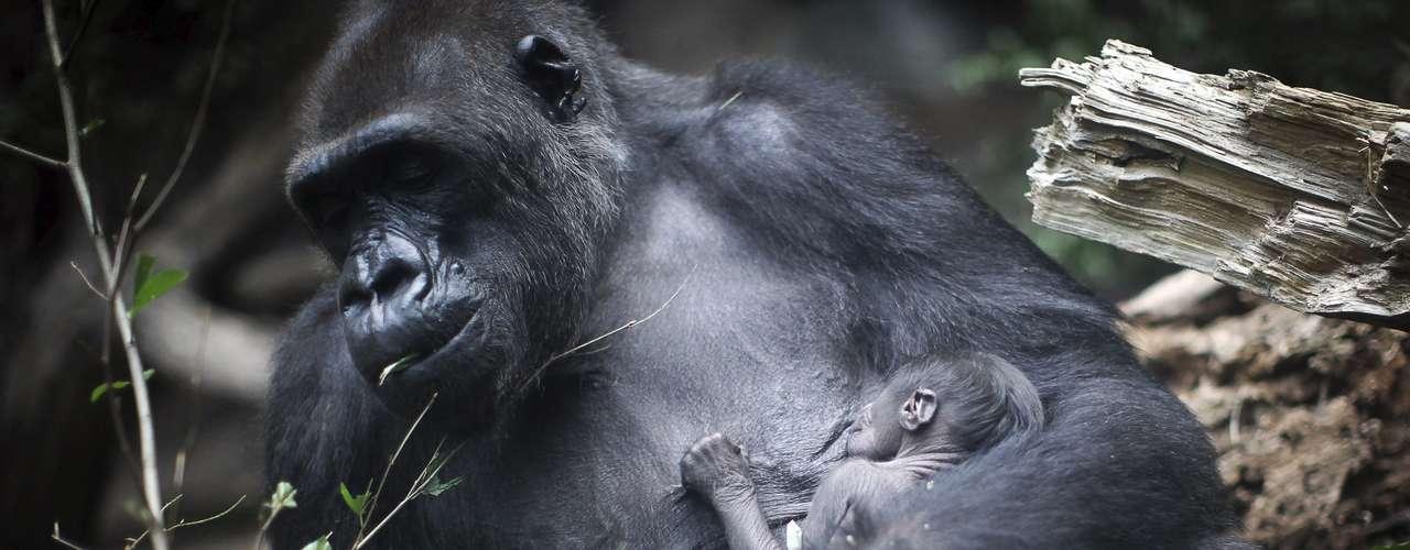 La gorila Rebecca alimenta a su hijo.