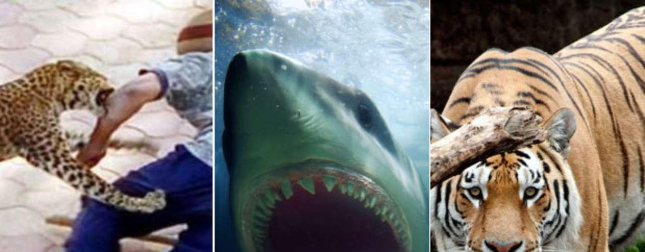 A veces los animales pueden reaccionar de manera violenta y descargar su furia contra los seres humanos. Tigres, leones o tiburones han atacado personas causando sustos, heridas y hasta la muerte. Conoce algunos casos a continuación: