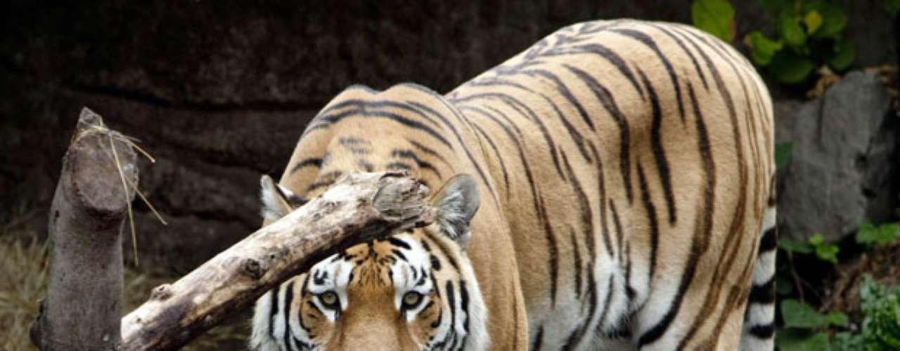 Un joven de unos veinte años de edad murió el 11 de julio de 2012 al ser atacado por un tigre en el zoológico de Copenhague, informó la Policía danesa. La víctima murió de una mordedura en la garganta y presentaba además graves heridas en la cara, la ingle y el muslo. La Policía manejódos hipótesis en la investigación, que pueda ser un suicidio o que el joven cayera en el recinto al ceder la valla protectora.
