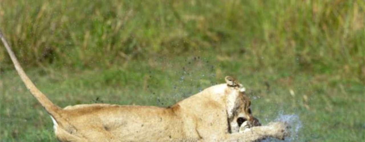 La leona arriesgó su vida para permitir el paso de la camada que la acompañaba. El animal sí recibió un mordisco en la nariz, pero gracias a su intervención, dos crías y dos adultos pudieron cruzar el río sin sufrir ningún daño.