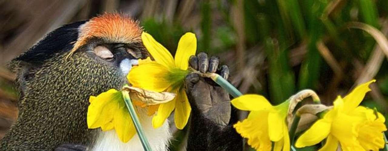 Este mono disfruta de la naturaleza en Kent, Reino Unido