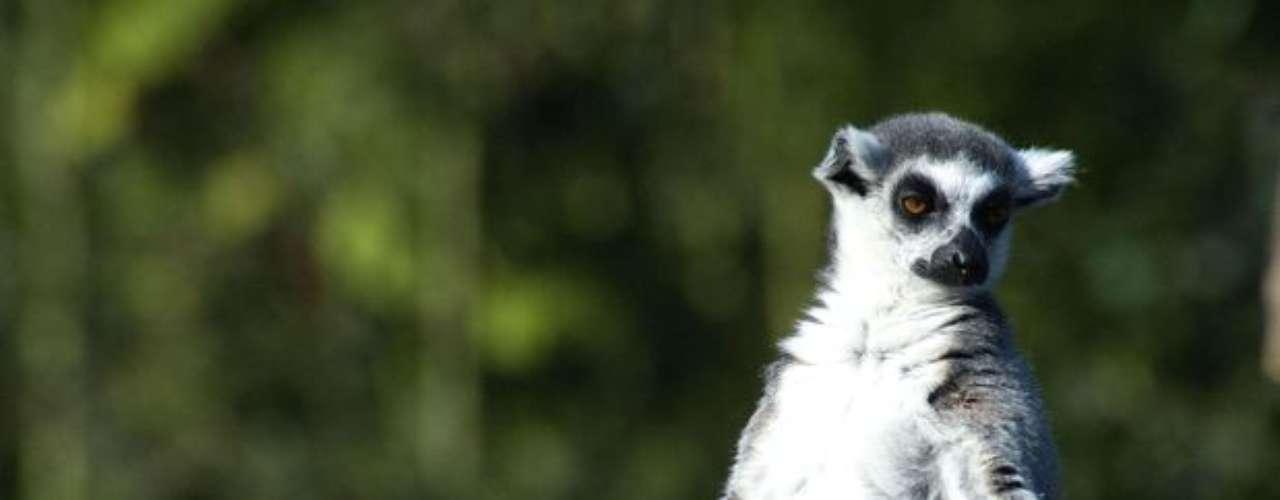 Este Lemur parece que estuviera meditando en un parque de Bélgica