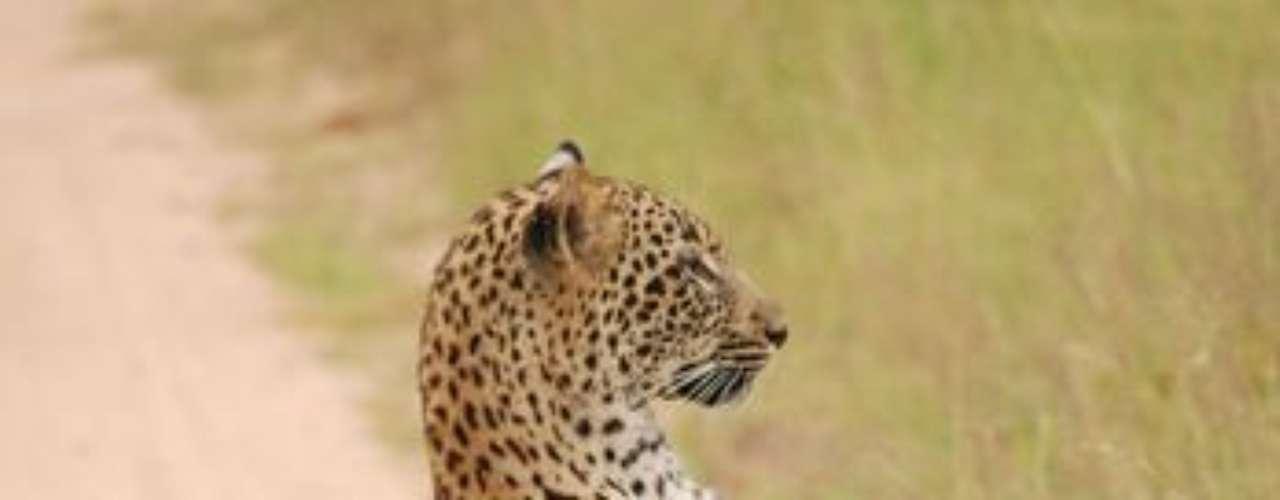 Guepardo sentado muy derecho. Una curiosa posición para olfatear en Sudáfrica