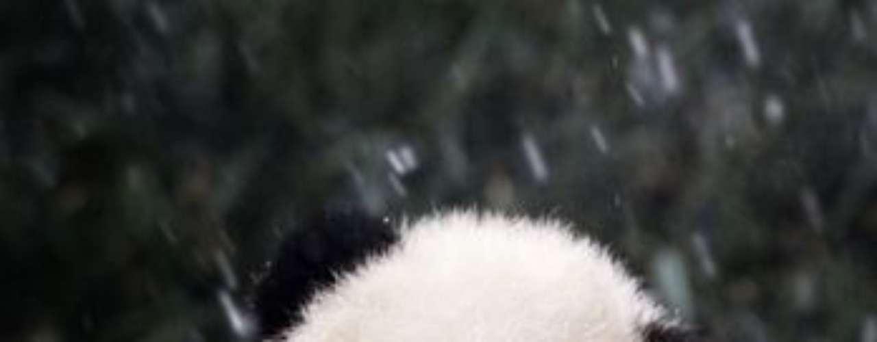 Da la impresión que este oso panda está pendiente de una conversación.
