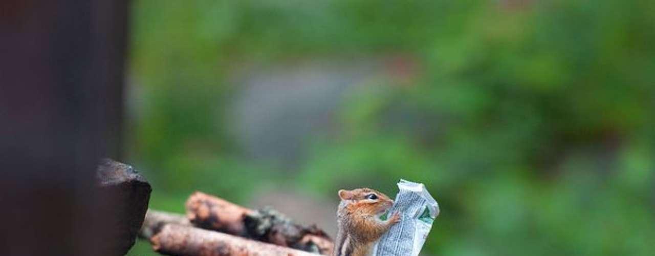 La ardilla parece estar leyendo un periódico en un parque en Ontario, Canadá, pero en realidad estaba tomando un paquete con comida.