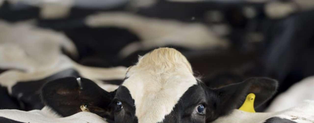 Varias vacas se amontonan en un establo antes de ser ordeñadas en Eatonton, Georgia, Estados Unidos. Varios condados de Georgia se encuentran en estado de condiciones de sequía entre extrema y excepcional, de acuerdo con el Centro de Datos Climatológico Nacional.