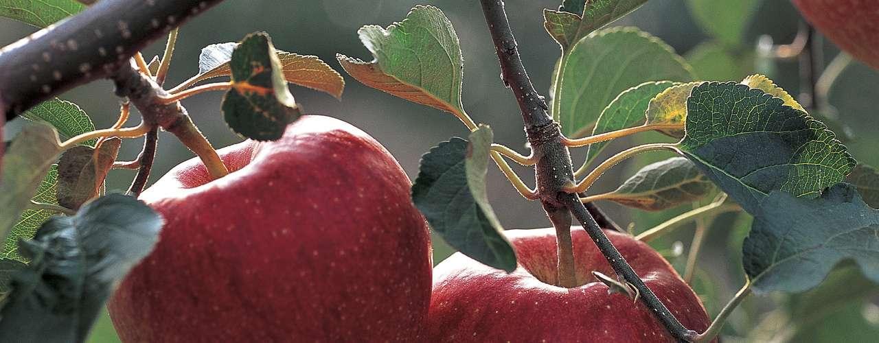 Mejora las funciones cerebrales. Según Good Housekeeping, la fruta ha sido vinculada a un aumento en la producción de acetilcolina, que se comunica entre las células nerviosas. Esto hace con que la manzana pueda ayudar a la memoria y reducir las posibilidades de desarrollar Alzheimer.