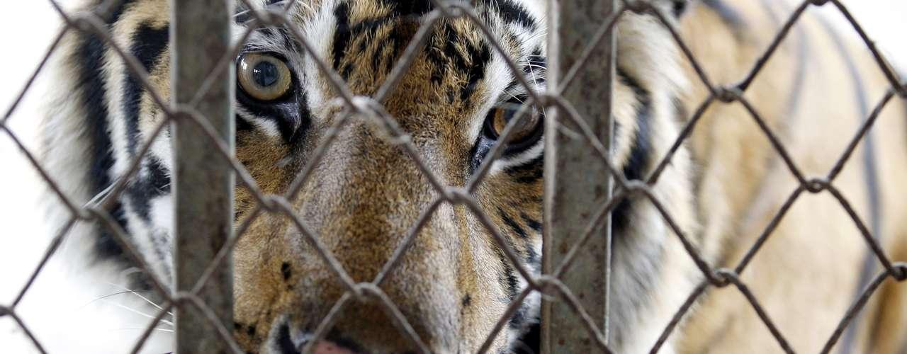 Algunos de los ejemplares de tigre que fueron confiscados de una vivienda en Pathum Thani, en las afueras de Bangkok, Tailandia. La policía arrestó a un hombre que alimentaba a seis tigres en el techo de un edificio y que estaría ligado a una red de tráfico de animales.