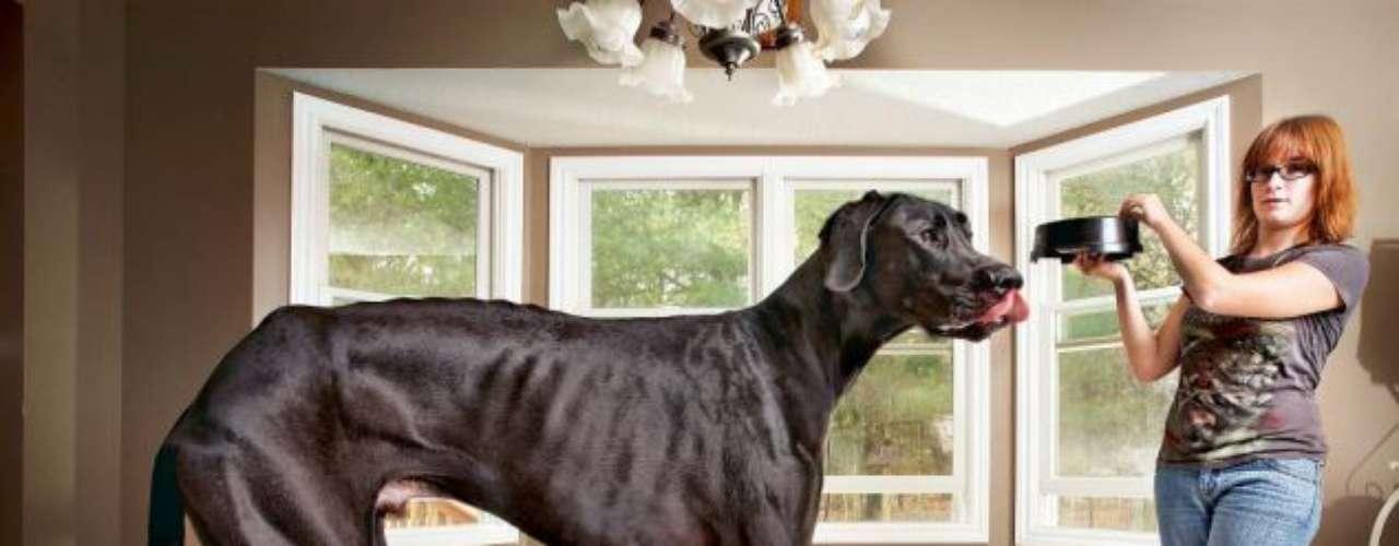 Zeus, el perro que mide un metro doce centímetros y que  fue declarado el perro más grande del mundo por el Libro Guinnes de los Récords.