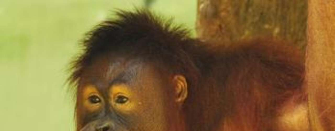 Tori llegó al zoológico hace 14 años y se hizo famosa hace 10, cuando contrajo el vicio de fumar. Todo empezó cuando la orangutana comenzó a pitar los cigarros que le tiraba el público.