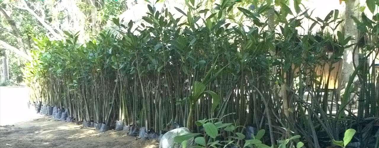 Para reforestar  se plantan semillas de manglar en invernaderos especiales y se espera hasta que la planta  crezca un metro y medio para poder ser trasplantada durante las épocas de lluvia, cuando se rompe la barrera natural entre el mar y la laguna y el nivel del agua baja.