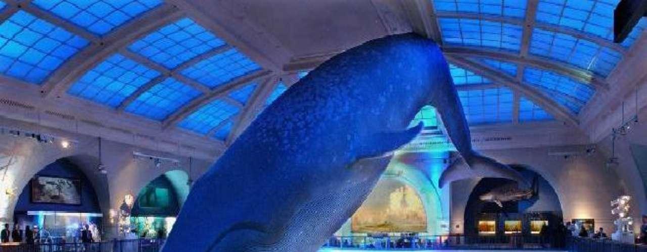 Museo de Historia Natural, en Nueva York. Se encuentra en Central Park y está dedicado a la ciencia. Cuenta con una de las mayores colecciones de fósiles de dinosaurios del mundo (podrás ver el Tyranosaurio, al Triceratops y el Diplodocus). Ofrece salas enteras dedicadas a la fauna y la flora del mundo (por ejemplo, hay una réplica de la ballena azul a tamaño real).