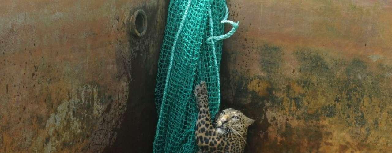 Un leopardo se agarra a una red después de caer en un tanque de agua en Haskhowa, India.