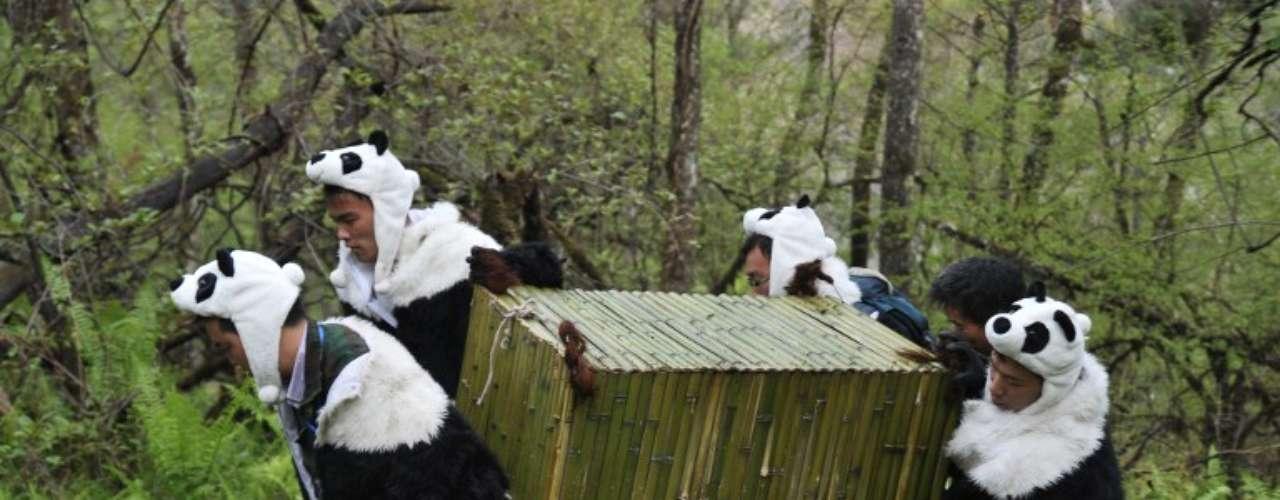 Disfrazados de pandas, funcionarios de una reserva natural transportan pandas gigantes de vuelta a su hábitat natural en Wolong, China.