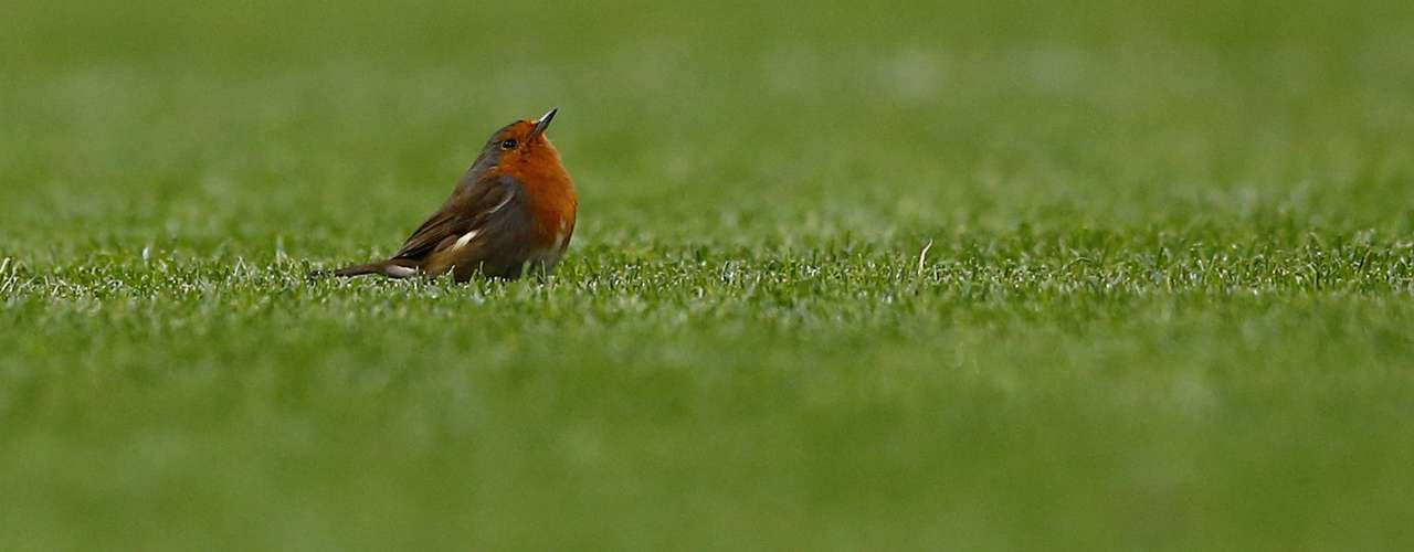 A robin stands on the pitch as Manchester United plays Sunderland in their English Premier League soccer match at Old Trafford in Manchester, northern England, December 15, 2012.