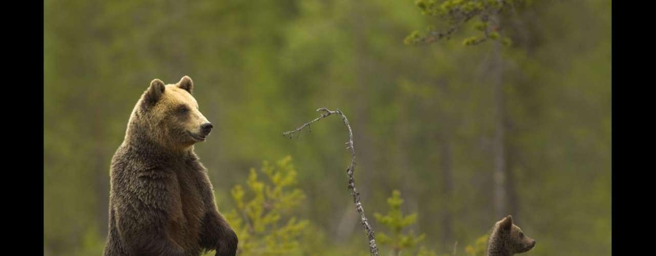 Los osos pardos son unos de los carnívoros más grandes del planeta. Suelen cazar solos salvo en algunas ocasiones, como por ejemplo cuando es la temporada del salmón. Pasan cerca de la mitad de sus vidas en estado de hibernación.