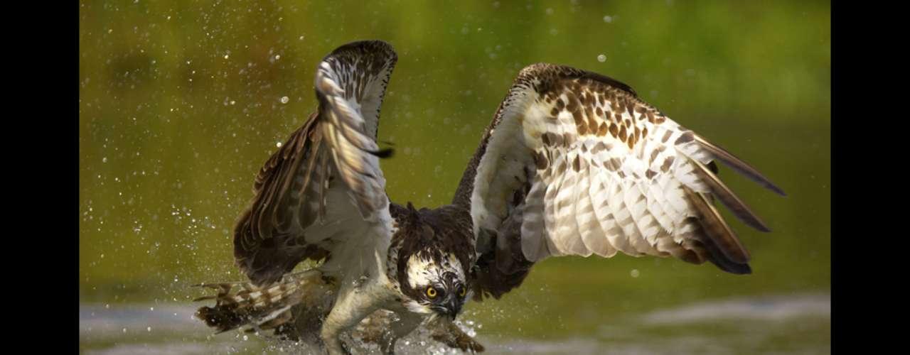 Esta foto de un águila pescadora también fue tomada en Noruega. Estas aves son excelentes cazadoras.