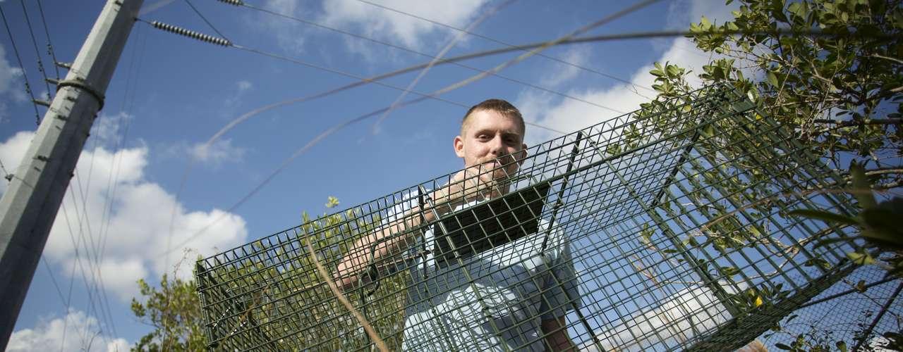 El mayor ejemplar fue capturado por Brian Barrows, quien se hizo con una serpiente de 4,35 metros, mientras que Rubén Ramírez logró atrapar un total de 18 animales. El ejemplar más grande que jamás se ha cazado en los Everglades fue una hembra atrapada el pasado agosto, que tenía 5,36 metros de largo y estaba gestando en su interior 87 huevos.