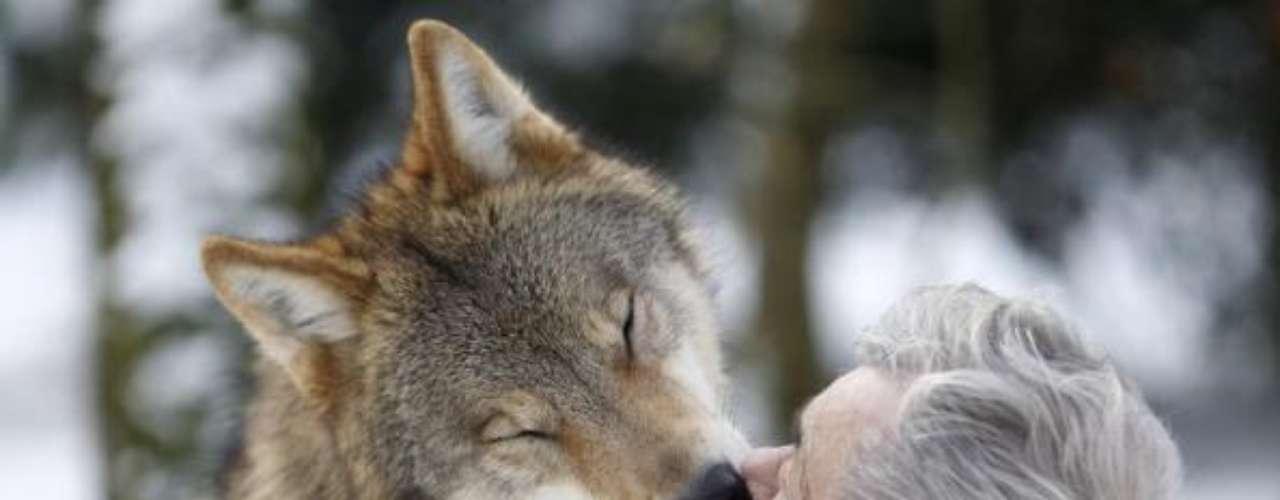 Los lobos se alimentan directamente desde los labios de Werner.
