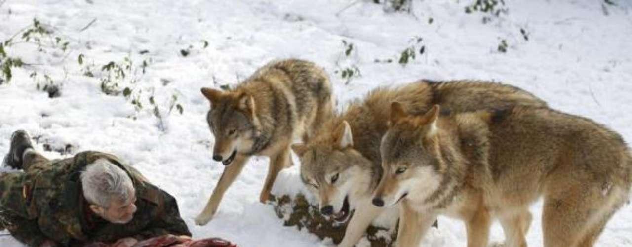 Freund tumbado junto a los lobos rodeando el cadáver de un ciervo.
