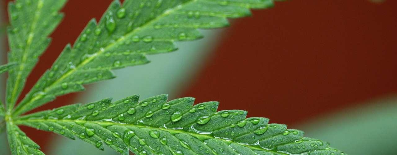 Así mismo, The Journal of the American Medical Association (JAMA) publicó un estudio que afirma que el consumo moderado de cigarrillos de Cannabis (uno por día durante un máximo de siete años) no afecta la función pulmonar a diferencia del tabaco, que en esa misma cantidad tiene consecuencias adversas significativas.