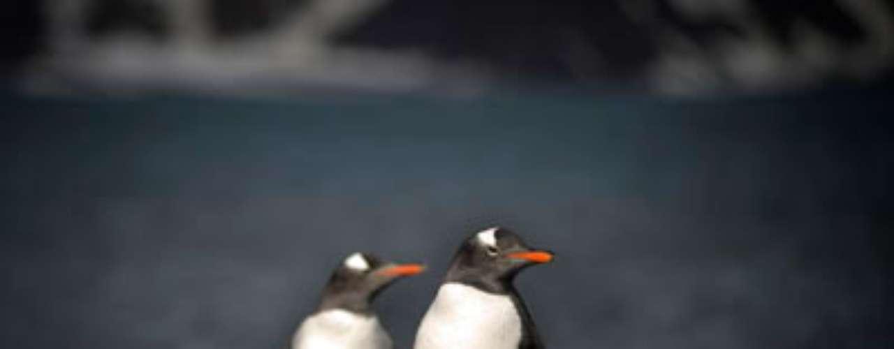 Este calentamiento tendría como consecuencia una gran reducción de los hielos de los mares antárticos que constituyen el hábitat predilecto del pingüino emperador y del pingüino de Adelia.