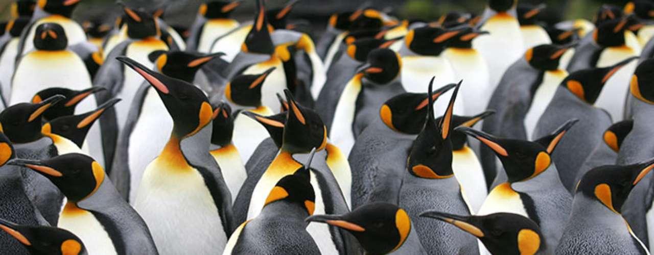 """""""Algunas poblaciones de pingüinos parecen haber disminuido hasta un 50 por ciento en los últimos 30 años """", agregó Hart."""