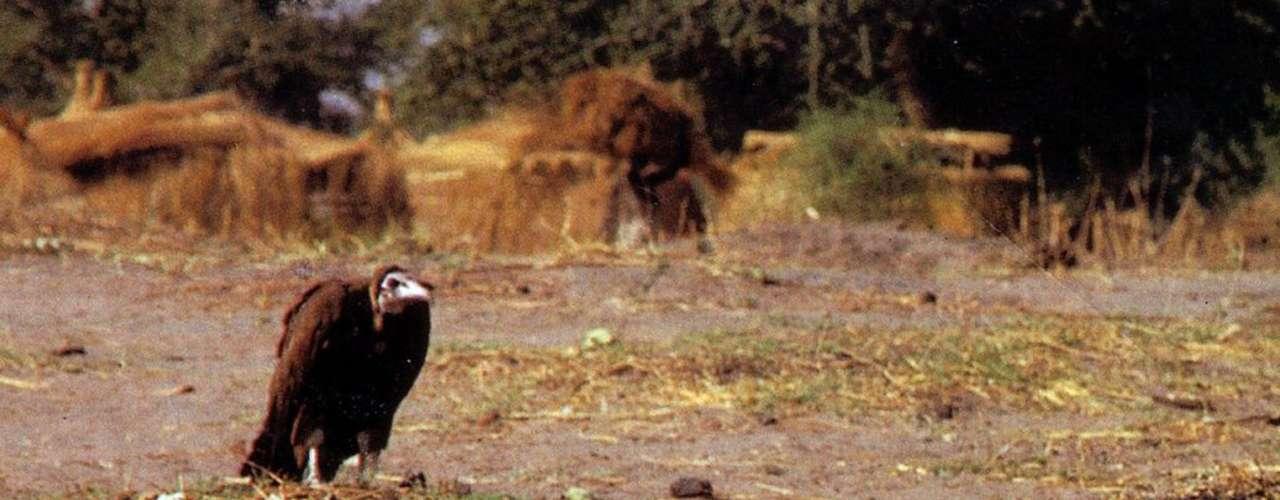 Una de las imágenes más polémicas quizá es ésta, del fotógrafo sudafricano Kevin Carter, que en 1994 captó a un pequeño desnutrido de la localidad de Ayod, en Sudá, siendo acechado por un buitre. Carter ganó el premio Pulitzer por la foto pero también ganó el rechazo de la sociedad por haberse marchado sin ayudar al que parecía ser un niño en peligro. Esta persecución pública y otros asuntos personales lo orillaron meses más tarde al suicido. En realidad la imagen fue tomada en una estación de comida de la ONU donde a menudo iban buitres buscando desechos, además de que el animal no estaba tan cerca del niño como la composición fotográfica lo hacía parecer.