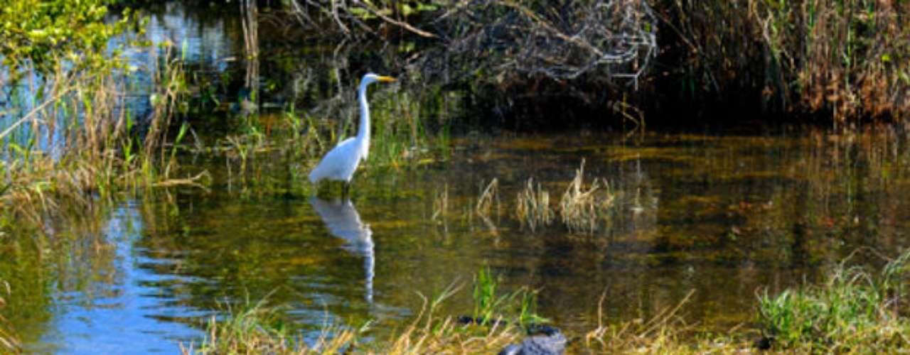 Everglades.  El Parque Nacional Everglades es una de las principales reservas naturales de Estado Unidos.  Ubicado en el sur de Florida, tiene un importante ecosistema de pantanos y presencia de cocodrilos, peces y numerosas especies de pájaros.  El parque ya perdió cerca de la cuarta parte de sus manglares originales y está amenazado por proyectos hidrológicos que alteran el flujo de las aguas, causando serios problemas ecológicos.
