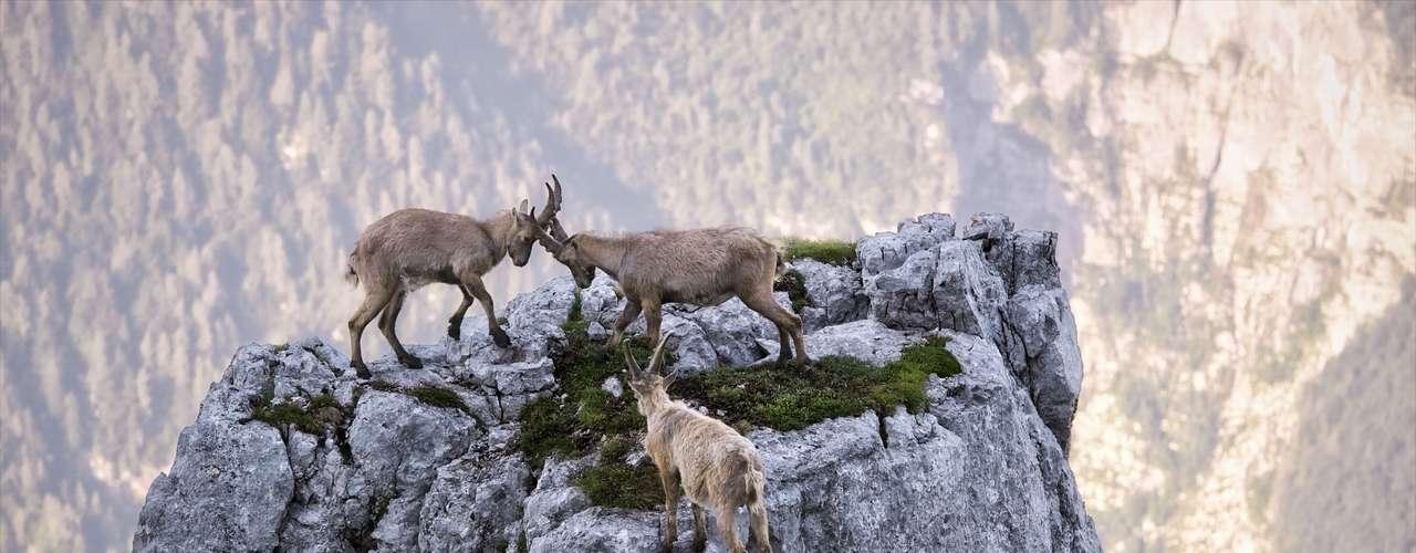Cabras luchan en losalpes italianos.