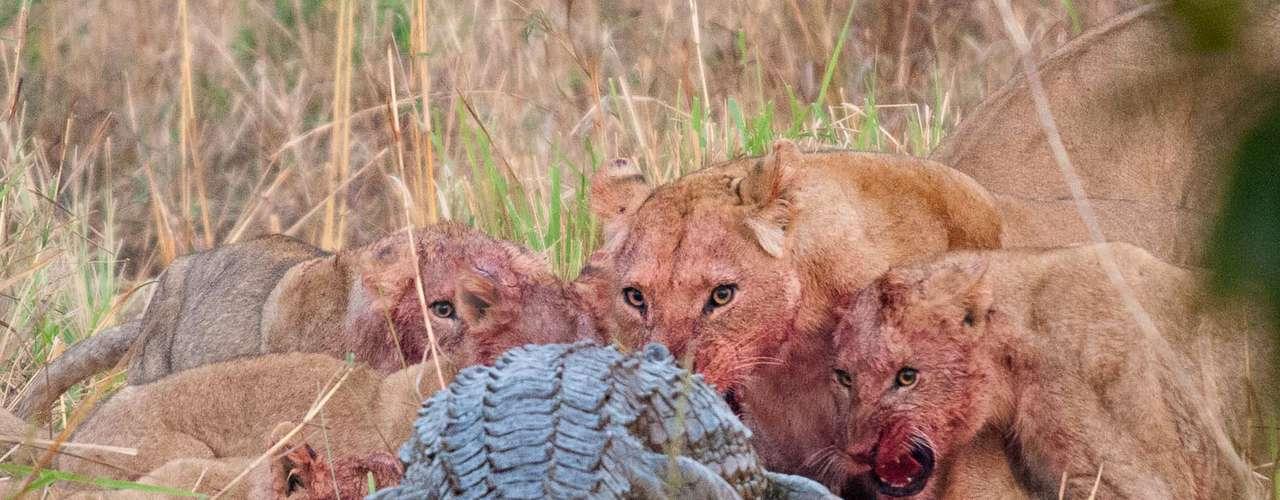 Un cocodrilo del Nilo, de 3 metros de longitud, se enfrentaa dos leonas que alimentan a sus crías con una presa recién muerta.