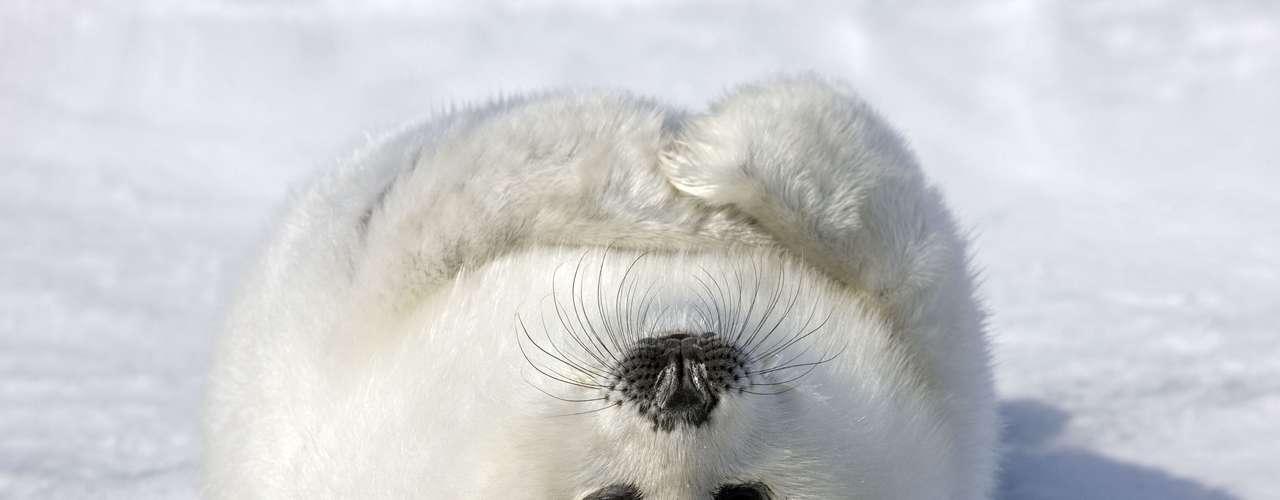 Keren Su registró en las IslasdeMadeleine, en Canadá, este cachorro de foca, que parece posar para lacámara.