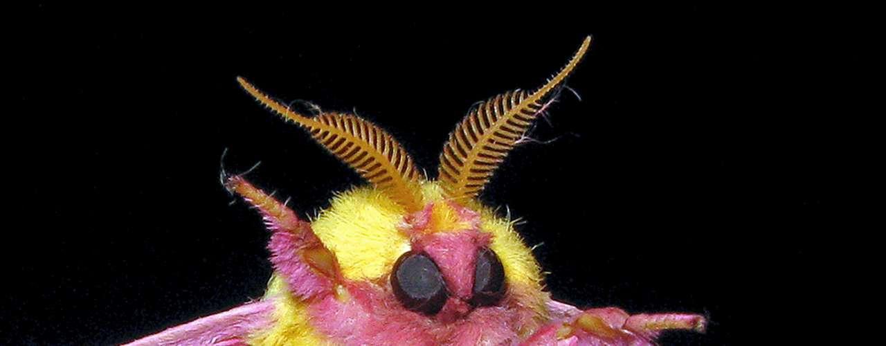 Este animal colorido es unamariposa de laespecie Dryocampa rubicunda, que puede ser encontrada na América do Norte.
