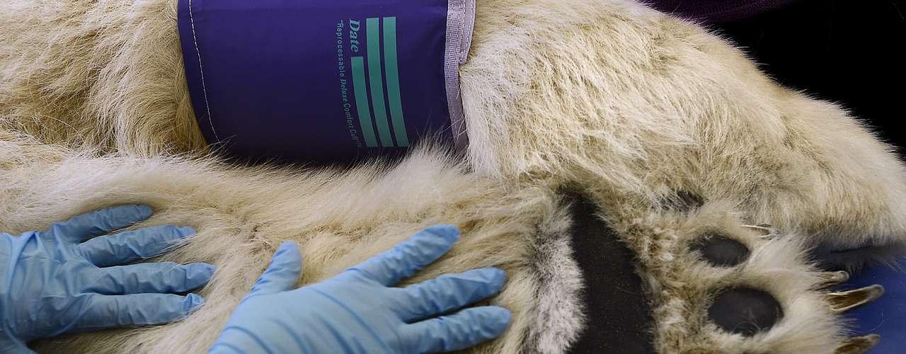 Este oso polar necesitró deun tratamiento especialen los Estados Unidos después de ser rescatado de un circo. Esta imagen da una idea del tamaño del animal. El tratamiento fue un éxito.